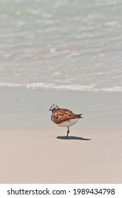 side view of a single piping plover, sea bird standing on one leg at a tropical, sandy seashore