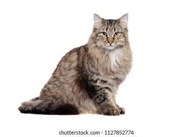 Side view of a sitting fluffy cat looking straight  in a white studio
