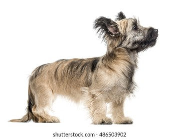 Side view of a Skye Terrier dog looking up isolated on white