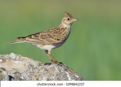 Side view of a skylark perched on a rock against a green wheat field background.