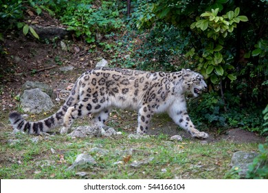 Side view of a snow leopard, Panthera uncia, walking in the forest in the summer season. This feline, also known as ounce is a large cat native to the mountain ranges of Central and South Asia.