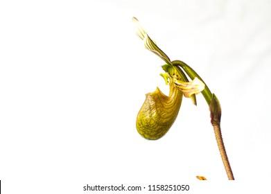 Side view of species orchid Paphiopedilum bacanum
