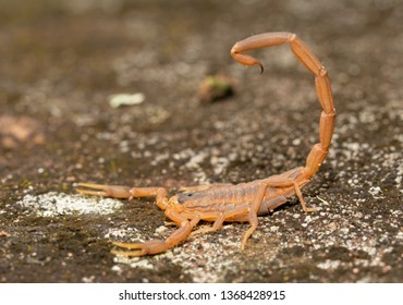 Side view of a Striped Bark Scorpion with his stinger over his back, ready to be used