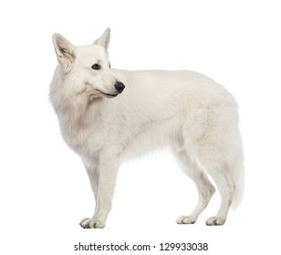 Side view of a Swiss Shepherd dog, 5 years old, looking away in front of white background