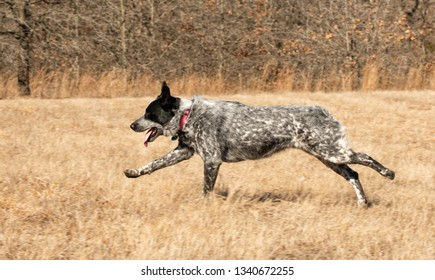 Side view of a Texas Heeler dog running across a grass field in full speed