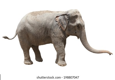 side view of thai asian elephant playing isolated white background use for animals ,pets, and wilderness theme