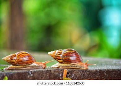 side view two Helix pomatia also Roman snail, Burgundy snail, edible snail or escargot, is a species of large, edible, air-breathing land snail, a terrestrial pulmona,on wood green natural background
