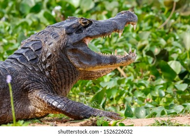 Side view of upper body of a big Black Caiman with open mouth against green background, Pantanal Wetlands, Mato Grosso, Brazil