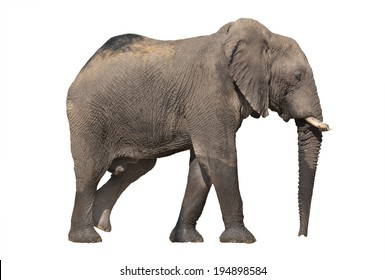 Side view of walking elephant on white background