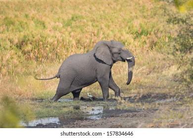 Side view of walking elephant over mud, Namib