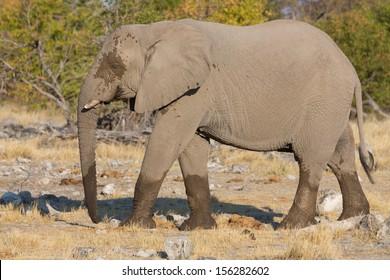 Side view of walking elephant in the savannah in Etosha, Namib