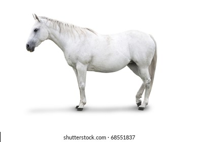Side view of White Horse Isolated with clipping path