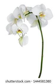 Side view of white Phalaenopsis Orchids flowers on curved branch. Isolated on a white background.