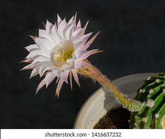 side view of a white and pink echinopsis night blooming cactus showing the all the flower parts and a section of the plant on a black background