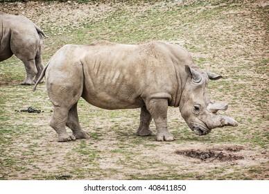Side view of a White rhinoceros (Ceratotherium simum simum). Animal theme. Critically endangered animal species.