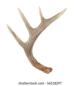 Side View of Whitetail Deer Antlers Isolated on White