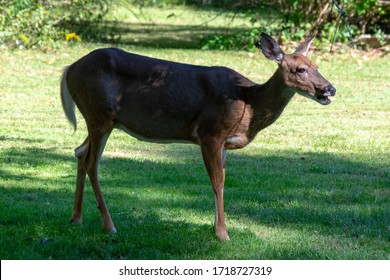 Side view of a white-tailed deer standing in the shade in a meadow in eastern Pennsylvania