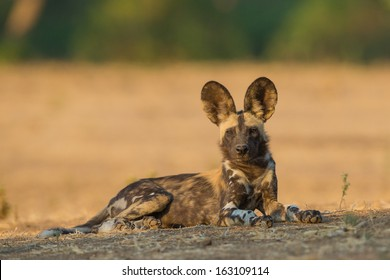 Side view of a Wild Dog pup (Lycaon pictus) looking at the camera