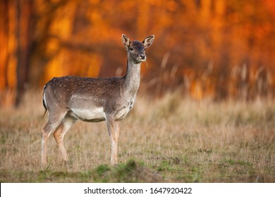 Side view of a wild fallow deer, dama dama, watching attentively in nature at sunset. Elegant female mammal standing on a meadow in forest at autumn evening.