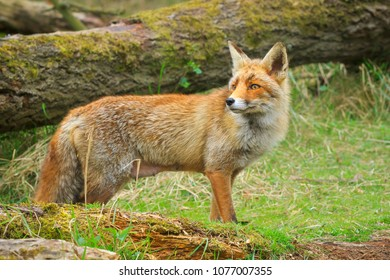 Side view of a Wild young red fox (vulpes vulpes) vixen scavenging in a forest
