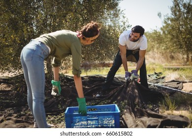 Side view of woman holding crate while man collecting olives at farm