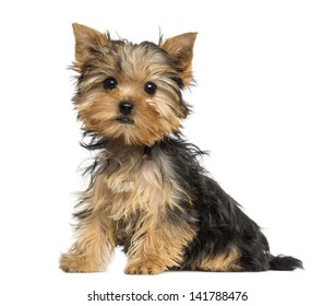 Side view of a Yorkshire Terrier puppy sitting, 3 months old, isolated on white