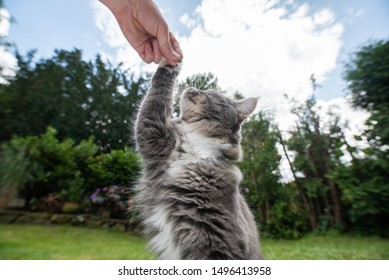 side view of a young playful blue tabby white maine coon cat raising paw reaching for treat in human hand outdoors in the garden on a sunny summer day