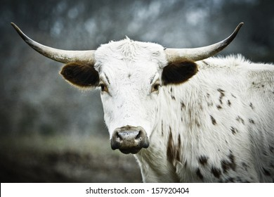 Side view Young Texas Longhorn with head turned left, looking straight in the camera. Blurred natural background.