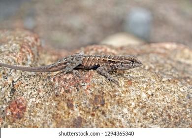 Side-blotched Lizard (Uta stansburiana)