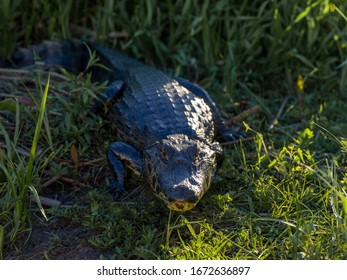 Sidelit Crocodile sunbathing in grass
