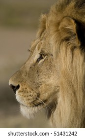 Side-on photograph of a male lion's face with a shallow depth of field and golden light.