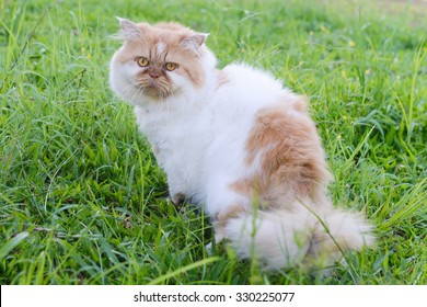 Sidet view of a grumpy Persian cat facing, looking at the camera
