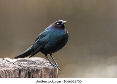 Sideview of brewer's blackbird in Hauser, Idaho.