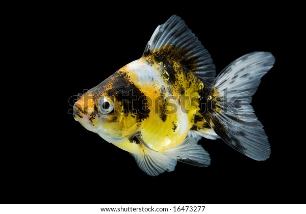 Sideview Calico Ryukin Goldfish Swimming Against Stock Photo