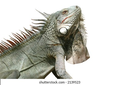 Side-view of iguana isolated on a white background