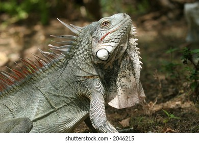 Side-view of iguana shot with a shallow DOF
