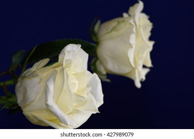 Sideview oft two yellow roses against a smooth dark blue background.
