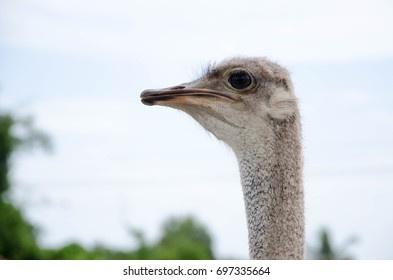 Sideview of an ostrich