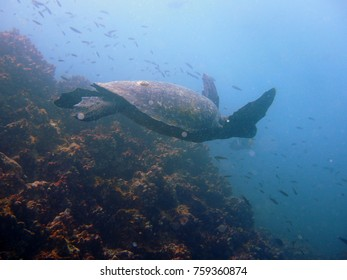 Sideview of a swimming green sea turtle with front legs up at the Galapagos Island in Ecuador