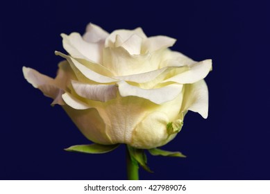 Sideview of a yellow rose against a blue background 1.