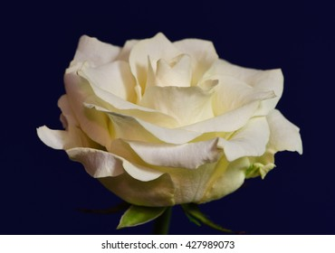 Sideview of a yellow rose against a royal blue background 2.
