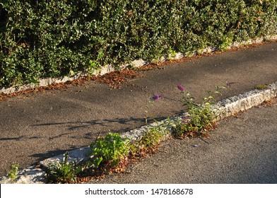 sidewalk alongside hedge in morning light with flowering buddleja seedlings growing in gutter