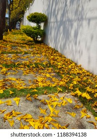 Sidewalk full of yellow Ipe tree leaves and background blurred image of shrub and Ipe trees
