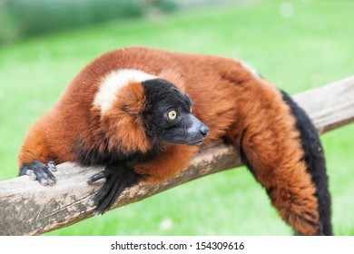 Sideways looking lemur