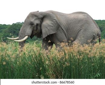 sideways shot of a elephant in Uganda (Africa) while walking through high grass