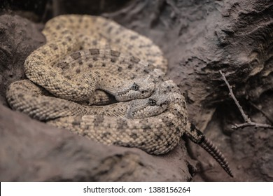The sidewinder (Crotalus cerastes), also known as the horned rattlesnake and sidewinder rattlesnake