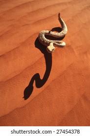 A sidewinder rattlesnake in the red desert