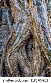 Siem Reap, Cambodia 27.06.2017  Nature versus man. A hidden smiling face, swallowed up by huge strangler fig tree roots, is all that remains of this stone statue in Ta Prohm, Angkor complex,