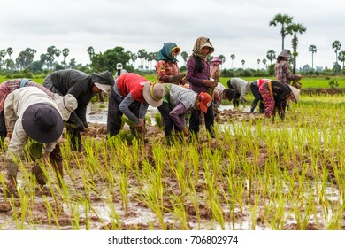 SIEM REAP, CAMBODIA - 9/12/2015: A group of rice farmers plant rice in the fields around their village.