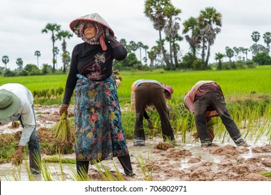 SIEM REAP, CAMBODIA - 9/12/2015: A woman stops briefly while working in the rice fields.